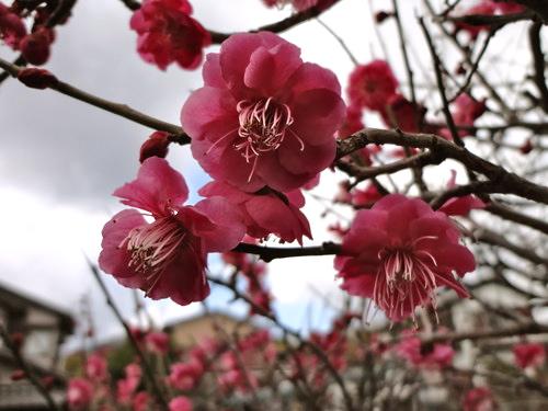 梅の花 画像