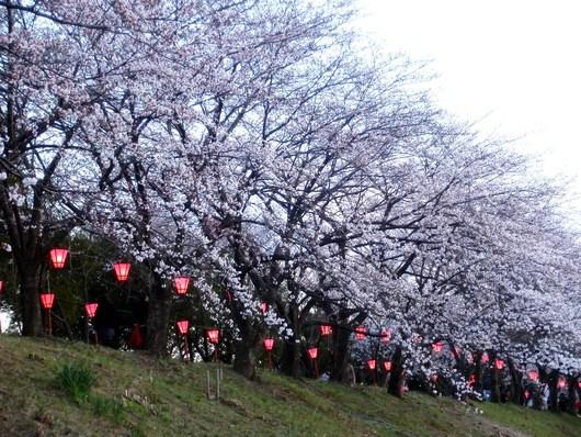 桜は今まさに見頃です!& 不在のお知らせ